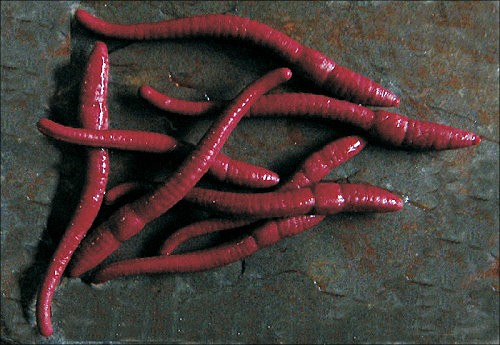 Enterprise Tackle Red Worms